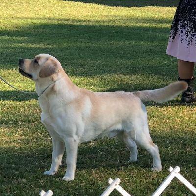 Show Den Labradors Labrador Retriever Zucht Skg Fci Labrador Retriever Einfach Abgeben Oder Ad In 2020 Westminster Dog Show Labrador Retriever Labrador Retriever Dog