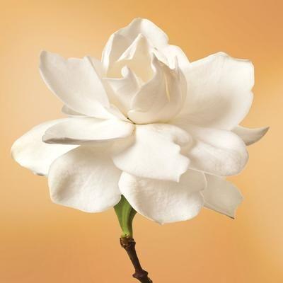 Gardenia Flower Elixir Flower Essences Gardenia Flowers