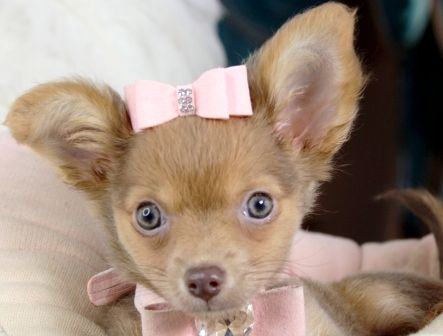 Chihuahua Teacup Puppies For Sale We Ship Very Safe Easy