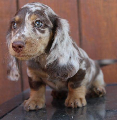 Akc Mini Dachshund Black And Cream Chocolate And Cream Dapple Puppies English Creams Normandox Ca Dapple Dachshund Dapple Dachshund Miniature Dachshund Dog