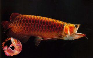 Dragon Fish Arowana Beauty 5
