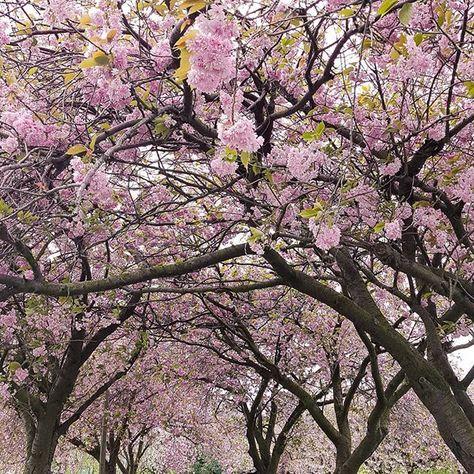 Japanese Cherry Blossom Wallpapers Cherry Blossom Wallpaper Cherry Blossom Japan Cherry Blossom