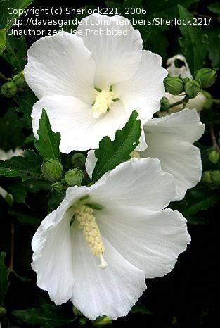 Hibiscus Flower Details Hibiscus Avec Images Hibiscus Fleurs