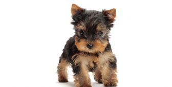 30 Small Hypoallergenic Dogs That Don T Shed With Images Dog Breeds That Dont Shed Hypoallergenic Dogs Small Cute Small Dogs
