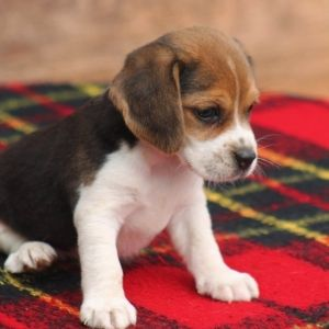 Beagle Puppy Beagle Puppy Cute Dogs Puppies Dogs