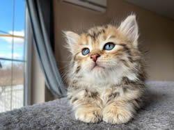 Playful Pets Paradise Kittens In 2020 Pet Paradise Kittens Pets