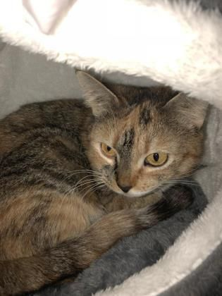 Adopt Ellie On Petfinder Animal Rescue League Cat Adoption Cats And Kittens