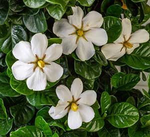 Diamond Spire Gardenia Plants Southern Living Plants Fall Plants