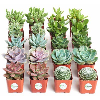 Bungalow Rose 20 Ackley Live Succulent Plant In Pot Set In 2020 Planting Succulents Succulents In Containers Succulents