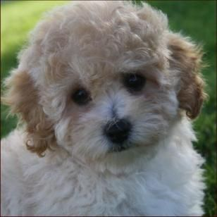 Poochon Bichon Poodle Puppies For Sale Nursery 3 Iowa With