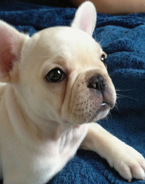 What an adorable little French Bulldog Puppy. He has such a sweet face.
