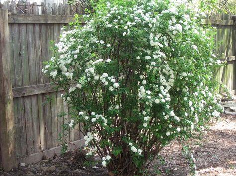 Bridal Wreath Spirea Transplanted With No Problems