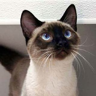 Cats Breeds Siamese Cats Pretty Cats Kittens