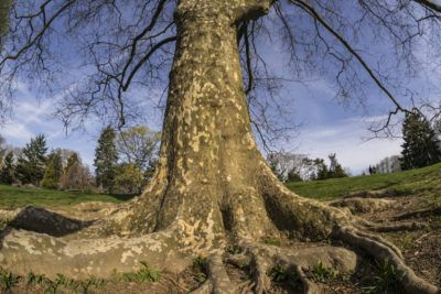 What To Do About Plane Tree Roots Problems With London Plane Roots Plane Tree London Plane Tree Tree Roots