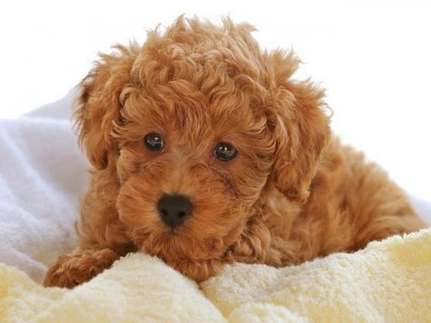 How To Stop Your Puppy Crying When They Re Alone Maltipoo Cute