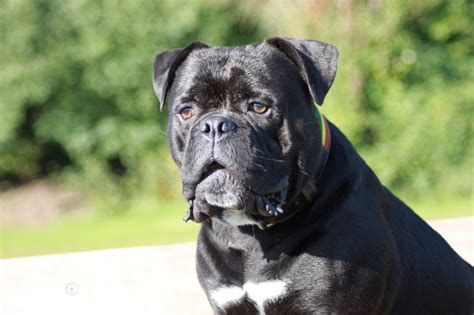 The Gallery For Black American Bully Olde English Bulldogge