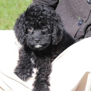 Mack Cavapoo Puppy 570307 Puppyspot Puppies Cavapoo Cavapoo Puppies Cavapoo Puppies For Sale