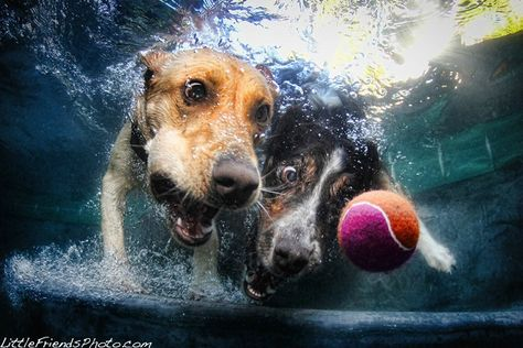 Two dogs going after one ball underwater