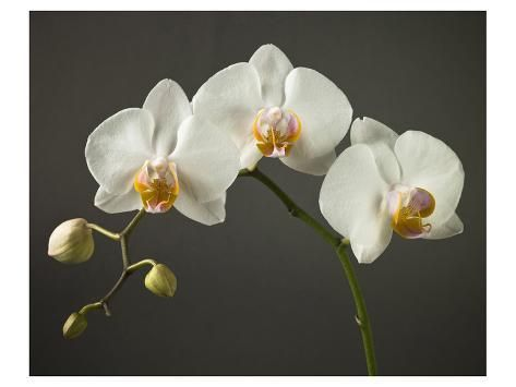 Stem Of Orchids Premium Giclee Print Art Prints Giclee Print Orchids