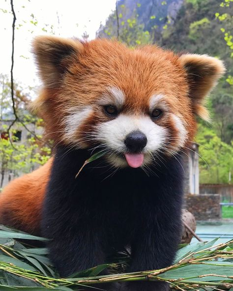 Baby Animals Pictures, Funny Animal Pictures, Cute Little Animals, Cute Funny Animals, Beautiful Creatures, Animals Beautiful, Beautiful Birds, Panda Sketch, Red Panda Cute