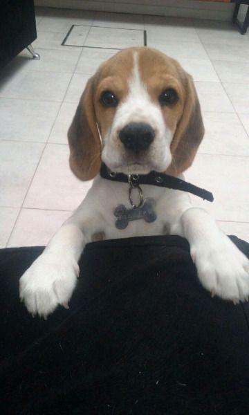 Pin On Beagles 2