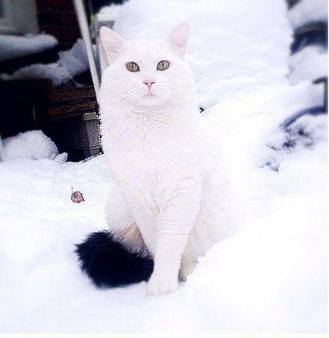 Cats Craigslist Catswithbigeyes Shelvesforcats Angora Cats Turkish Van Cats Siberian Cats For Sale