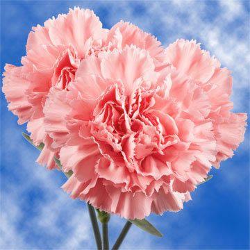 Pink Carnations Pink Carnations Carnation Flower Carnations
