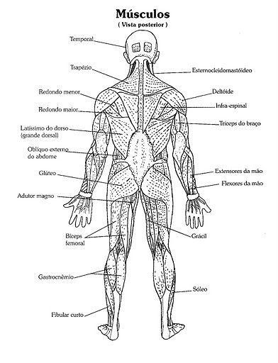 Resultado De Imagen Para Anatomia Musculos Para Colorear Com