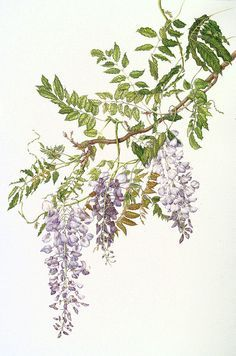 Wisteria sinensis (Chinese Wisteria) - Botanical illustration by Milly Acharya