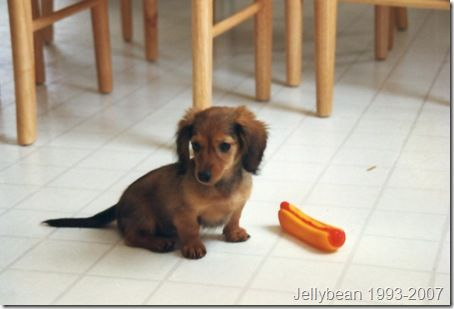 Dachshunds Are Adorable With Their Short Legs And Long Body The