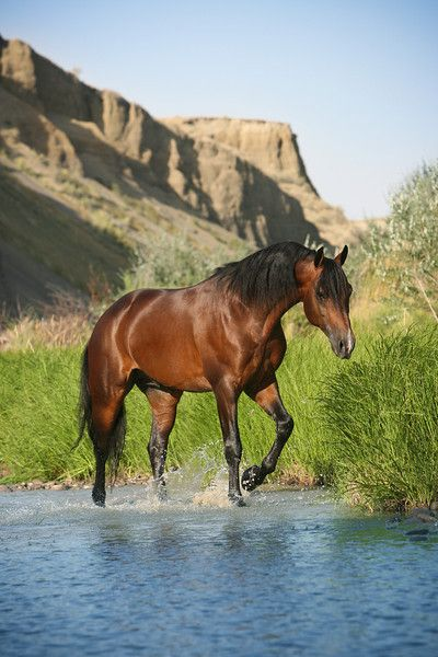 Beautiful Bay horse in the desert All The Pretty Horses, Beautiful Horses, Animals Beautiful, Bay Horse, Horse Ranch, Morgan Horse, All About Horses, Majestic Horse, Horse Photos