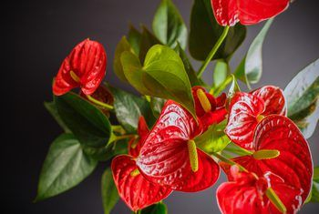 How To Get An Anthurium To Bloom Anthurium Flower Anthurium Repotting Orchids