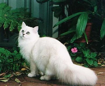 c07ab5ae6dce01 Chantilly Cat Breed - Facts and Personality Traits