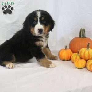 Bernese Mountain Dog Puppies For Sale Nel 2020 Animali