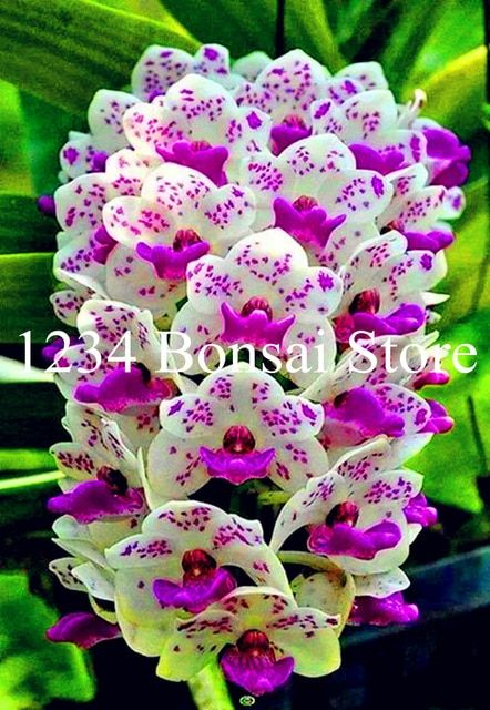 Big Sale 100 Pcs Rare Cymbidium Orchid Plants African Cymbidiums Plantas Phalaenopsis Bonsai Flower Seedl Flower Seedlings Orchid Plants For Sale Orchid Plants