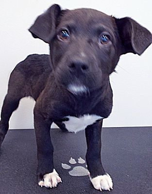 Chicago Il Labrador Retriever Meet Snow A Pet For Adoption Labrador Retriever Puppies Pitbull Puppies For Adoption Labrador Retriever