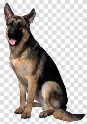 German Shepherd Dog Dog Transparent Background Png Clipart Northern Inuit Dog Shiloh Shepherd Dog Malinois Dog
