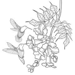Hanging Branch Of Outline Black Campsis Radicans Or Trumpet Vine Flower Bunch And Hummingbird Isolated On White B Vine Drawing Trumpet Vine Hummingbird Flowers