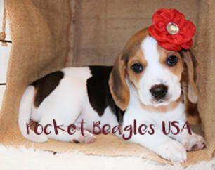 Our Babies Beagle Puppy Pocket Beagle Beagle Breeders