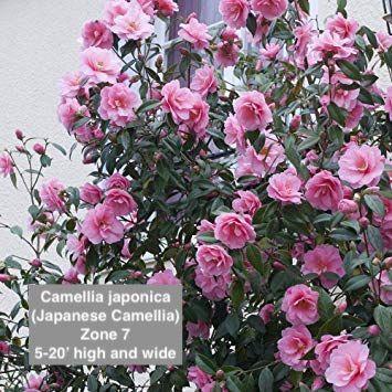 Kamelie Japonica In 2020 Pflanzen Bepflanzung Rosa Garten