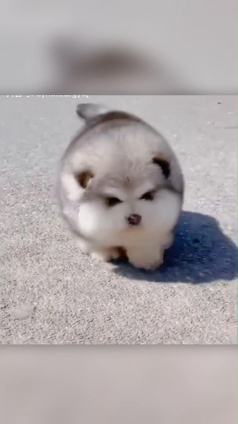 Say Hello To This Fluffy Pomsky Puppy