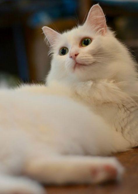 Epingle Par Carline49 Sur Chats Chats Blancs Amour De Chat Chat