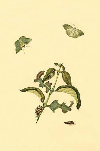 Surinam Butterflies Moths Caterpillars By Jan Sepp 63 Art Print Art Art Prints Moth Caterpillar