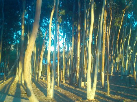 Eucaliptus.