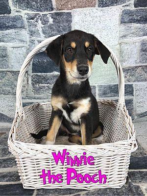 Joliet Il Rottweiler Meet Winnie The Pooch A Dog For Adoption