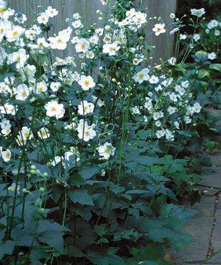 Fall-Blooming Anemones - FineGardening
