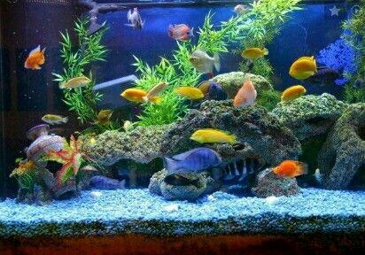 Ikan Hias Aquascape Aquarium Air Tawar Cichlids Planted Aquarium