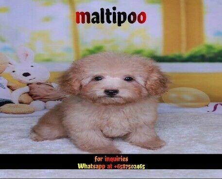 Cream Maltipoo Puppy Maltipoo Puppies In Va Malti Poo Puppies