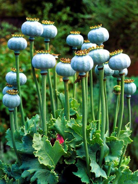 Choosing Plants for a Sensory Garden via HGTV // Poppy Seed Pods