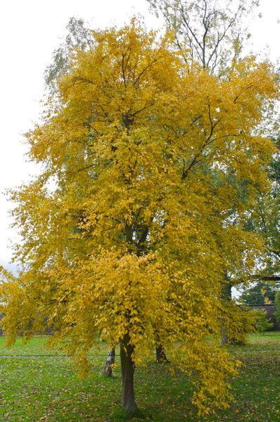 Sweet Birch Betula Lenta This Sweet Zone 3 Birch Brightens The Landscape With Sunny Golden Fall Foliage Size Med Shade Trees Deciduous Trees Tree Farms